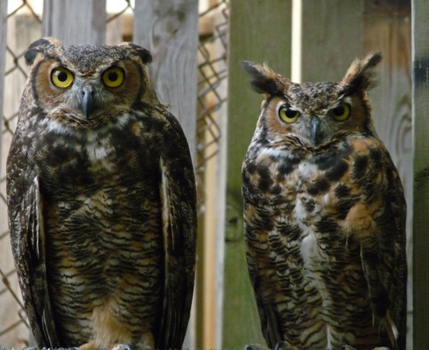 Owls Raptor Rehabilitation Of Kentucky Inc