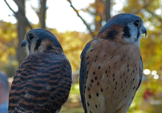 Pinky Lee and Capt. Jack, American Kestrels at RROKI