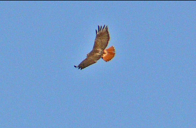 Red-Tailed Hawk showing red tail