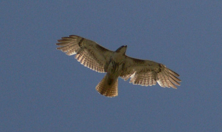 Red-Tailed Hawk from below