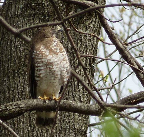 Broad-Winged Hawk migrating